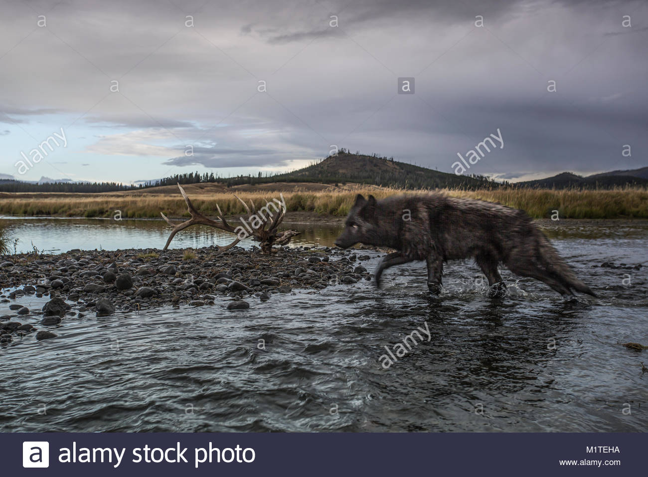 Yellowstone National Park, Wyoming. - Stock Image