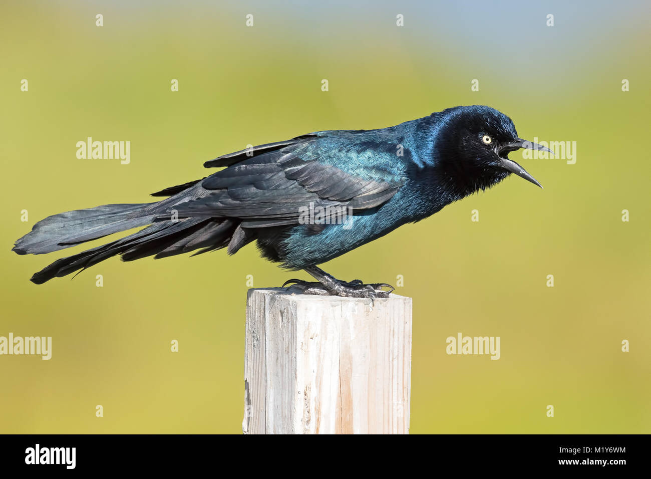 Boat-tailed Grackle - Stock Image