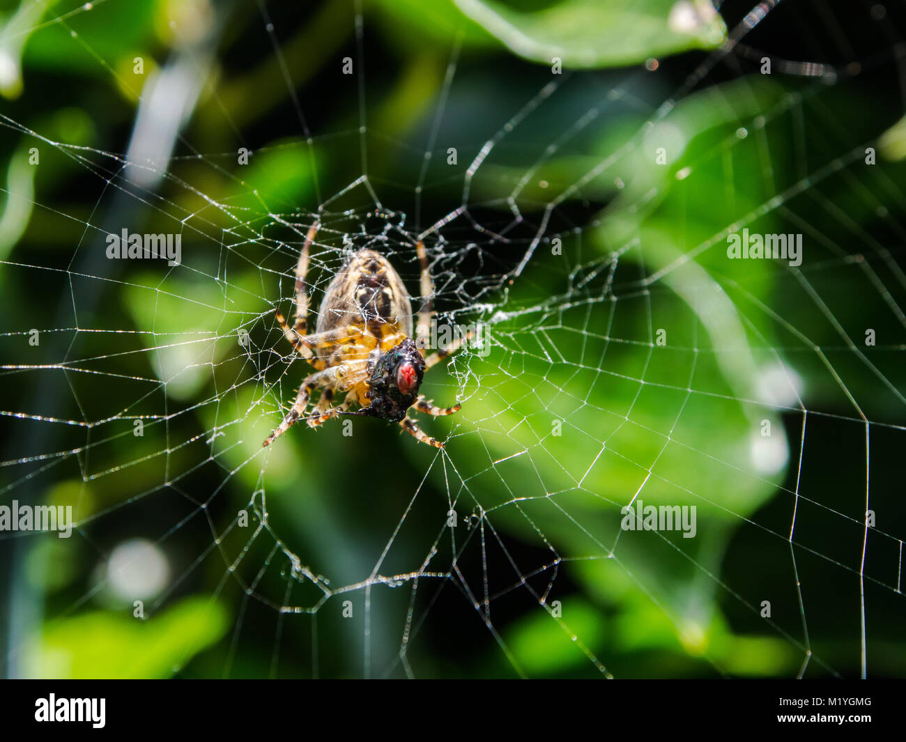 a-common-garden-spider-consumes-the-head-of-a-fly-that-is-trapped-M1YGMG.jpg