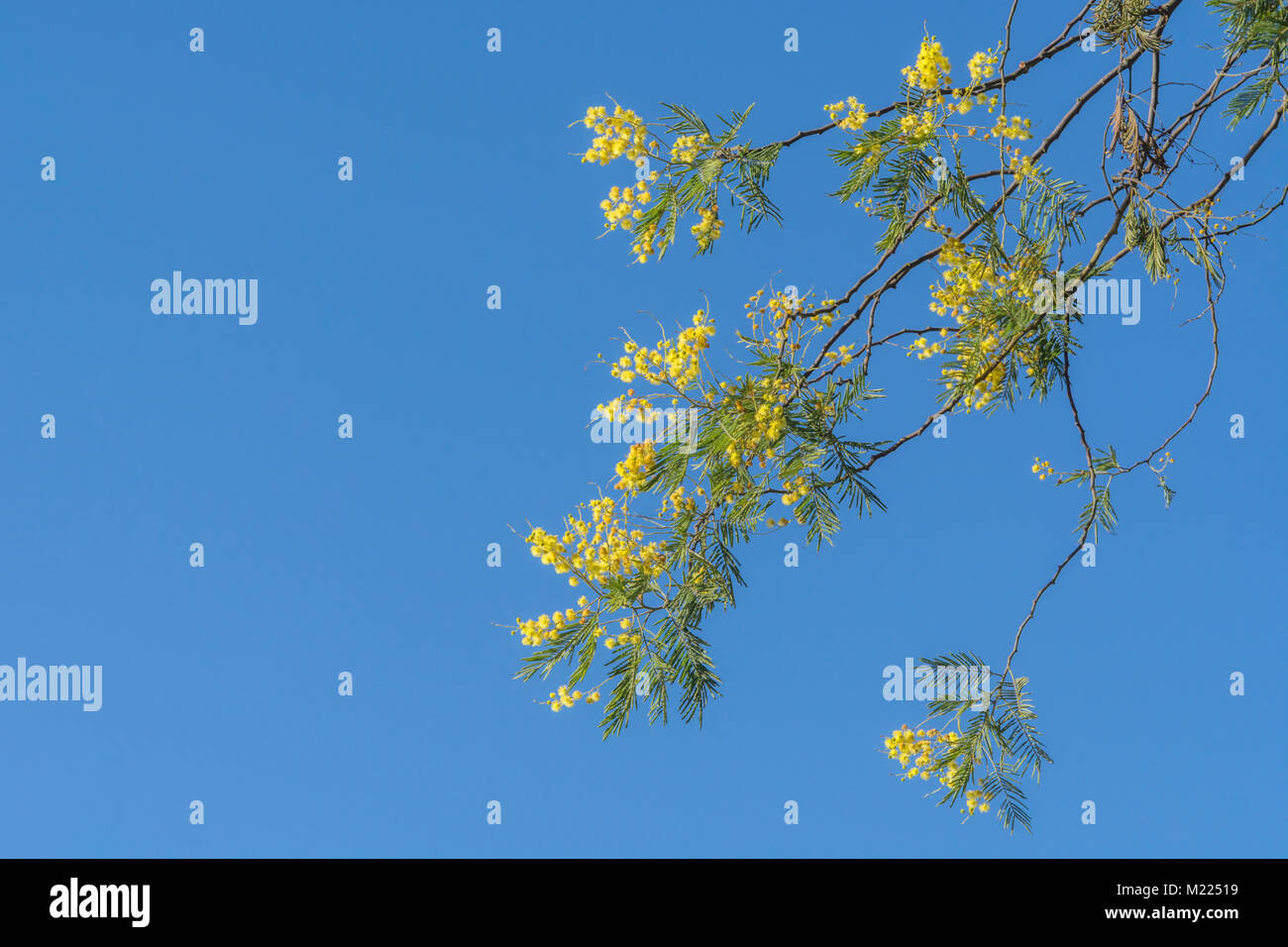 Yellow Springtime blossom of an Acacia tree in Cornwall, and seen against a bright blue sky as space for copy. Believed - Stock Image