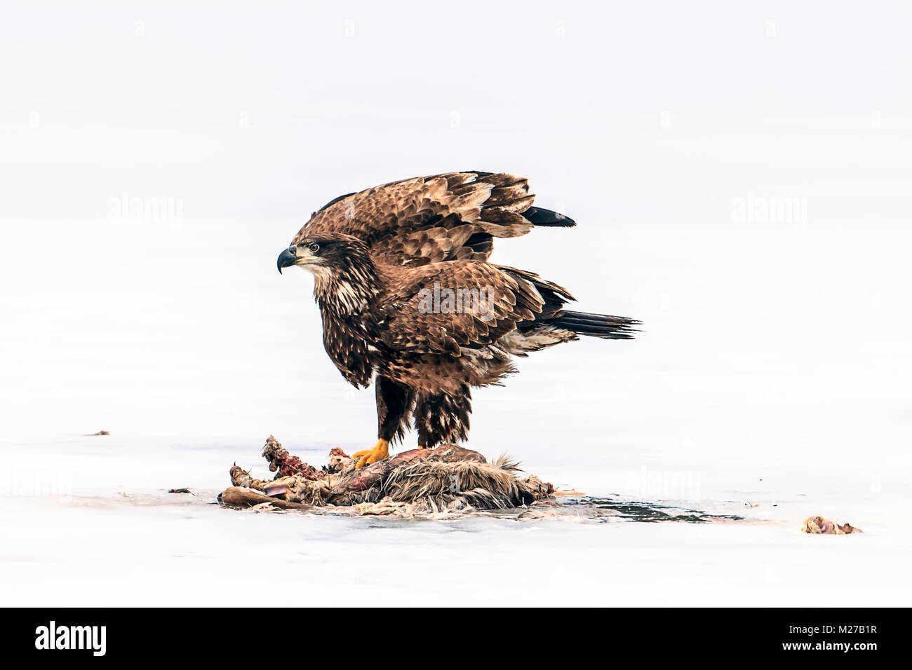 Immature bald eagle flutters wings by dead animal on the frozen Hauser Lake in Idaho. - Stock Image