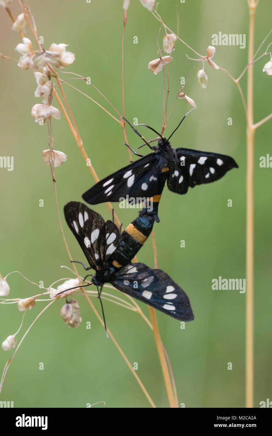 Nine-spotted (yellow belted burnet, Amata phegea) moths mating on grassland in Hungary, Europe Stock Photo
