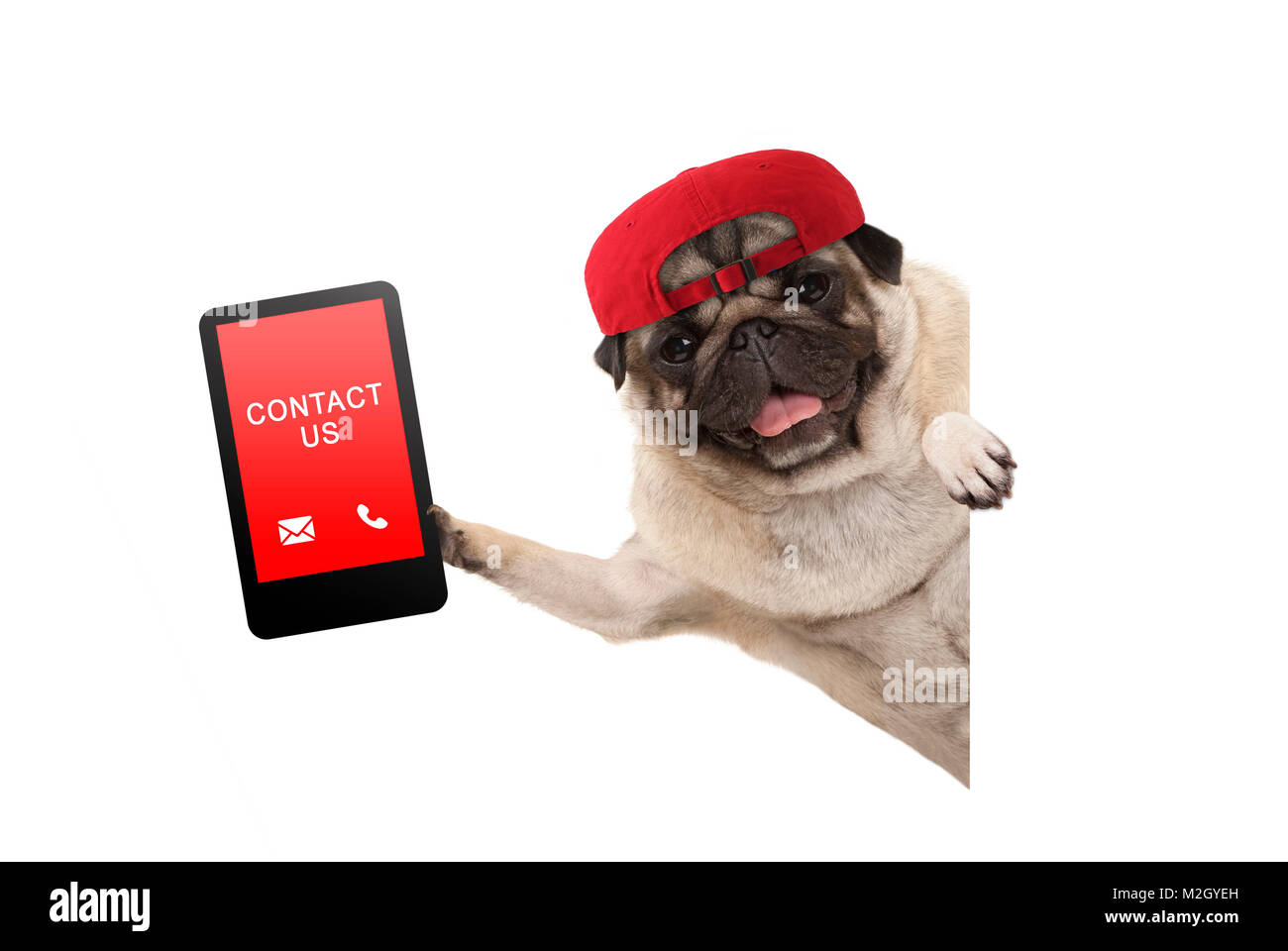 frolic pug puppy dog with red cap, holding up tablet phone with text contact us, hanging sideways from white banne, - Stock Image