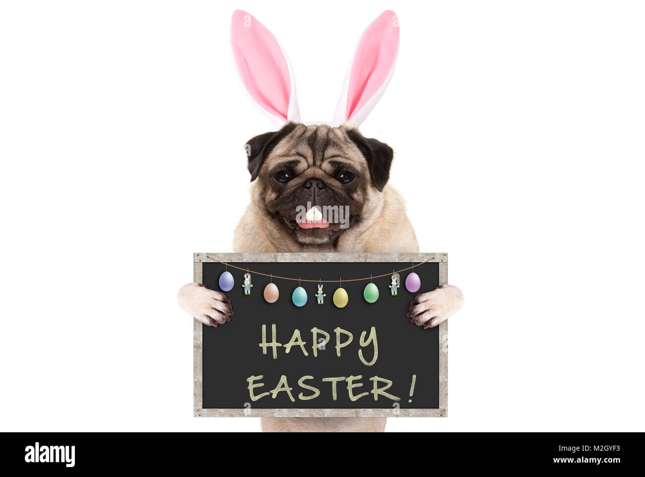 Easter bunny pug puppy dog with ears, eggs and blackboard with text happy easter, isolated on white background - Stock Image