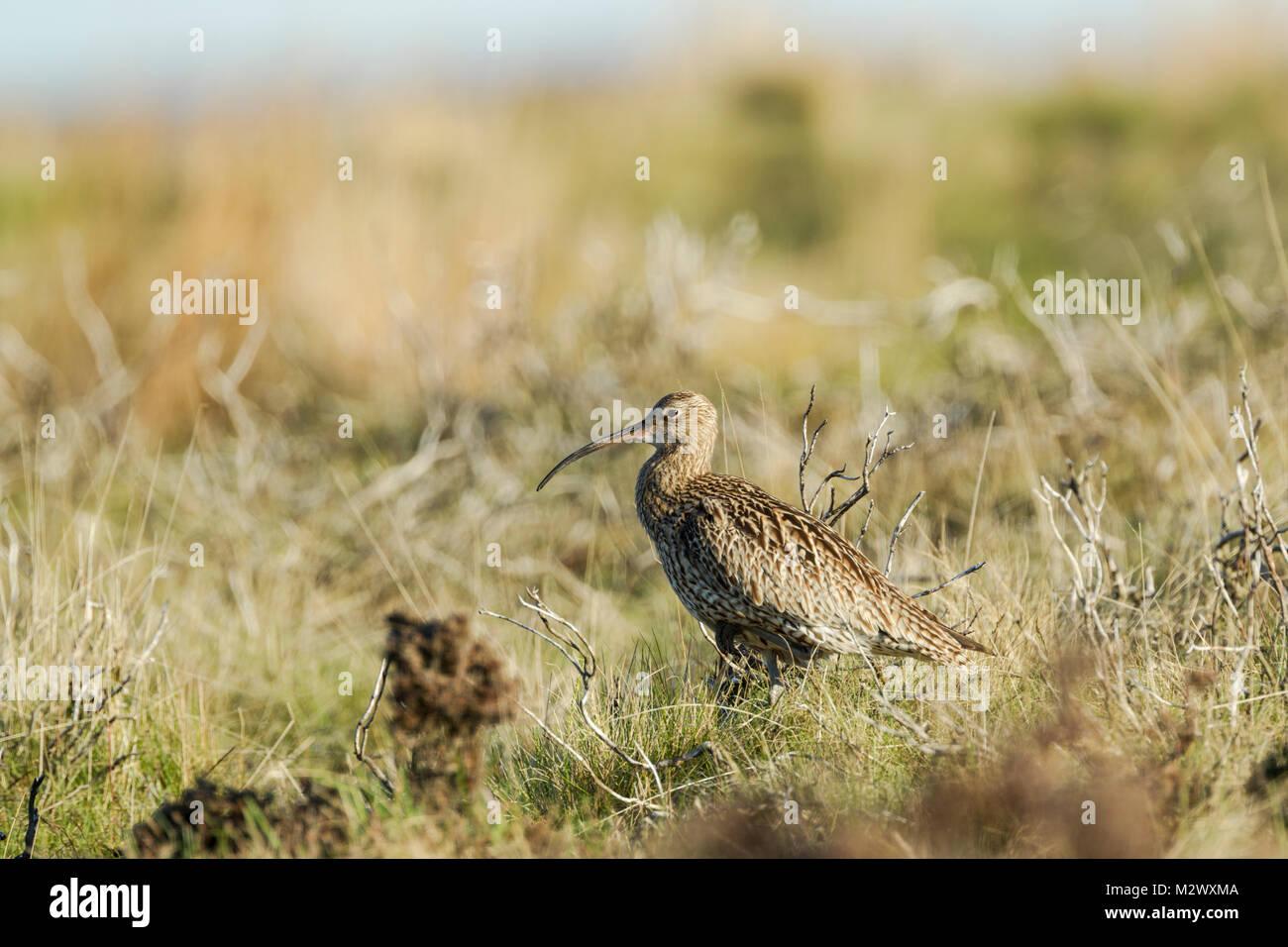 Eurasian Curlew, Latin name Numenius arquata, standing among rough moorland terrain in the North York Moors National - Stock Image