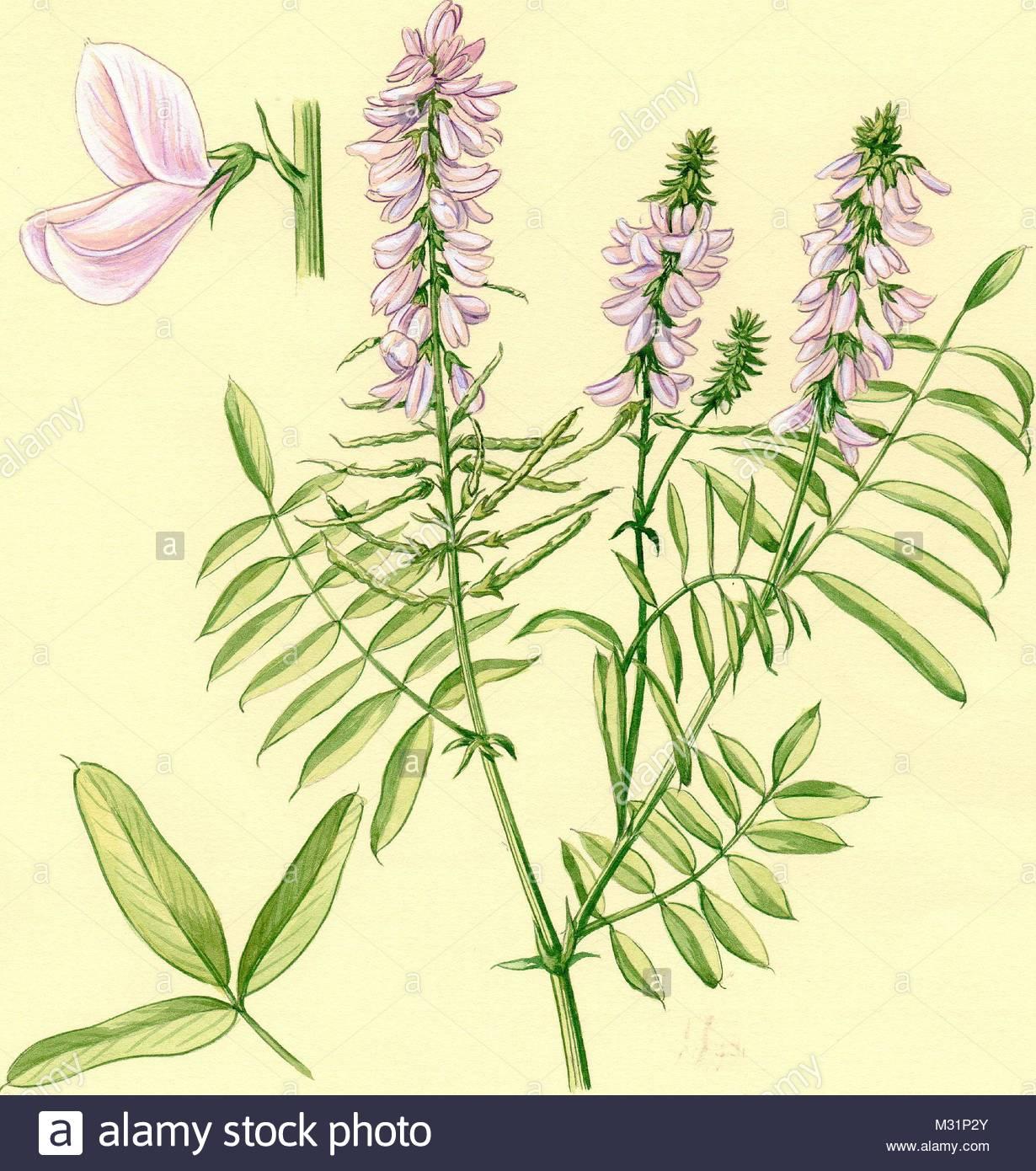medicinal herbs herbs geiraute galega officinalis - Stock Image