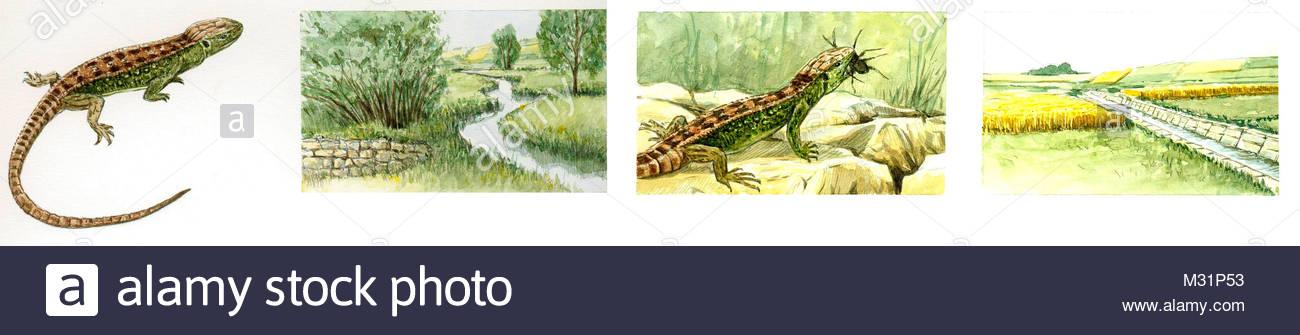 Protected sand lizard Flu-Mander - Stock Image