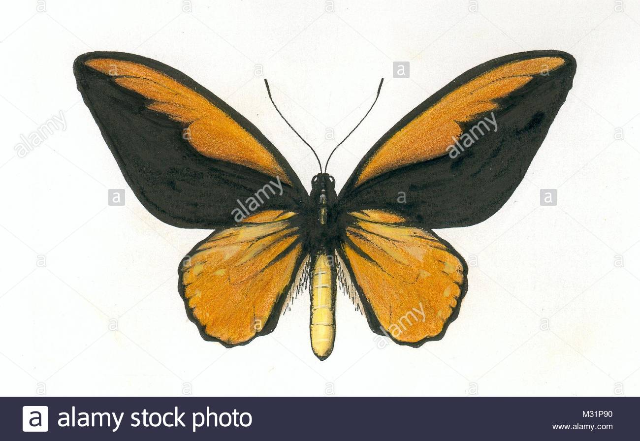 series butterflies series ornithoptera croesus 2 - Stock Image