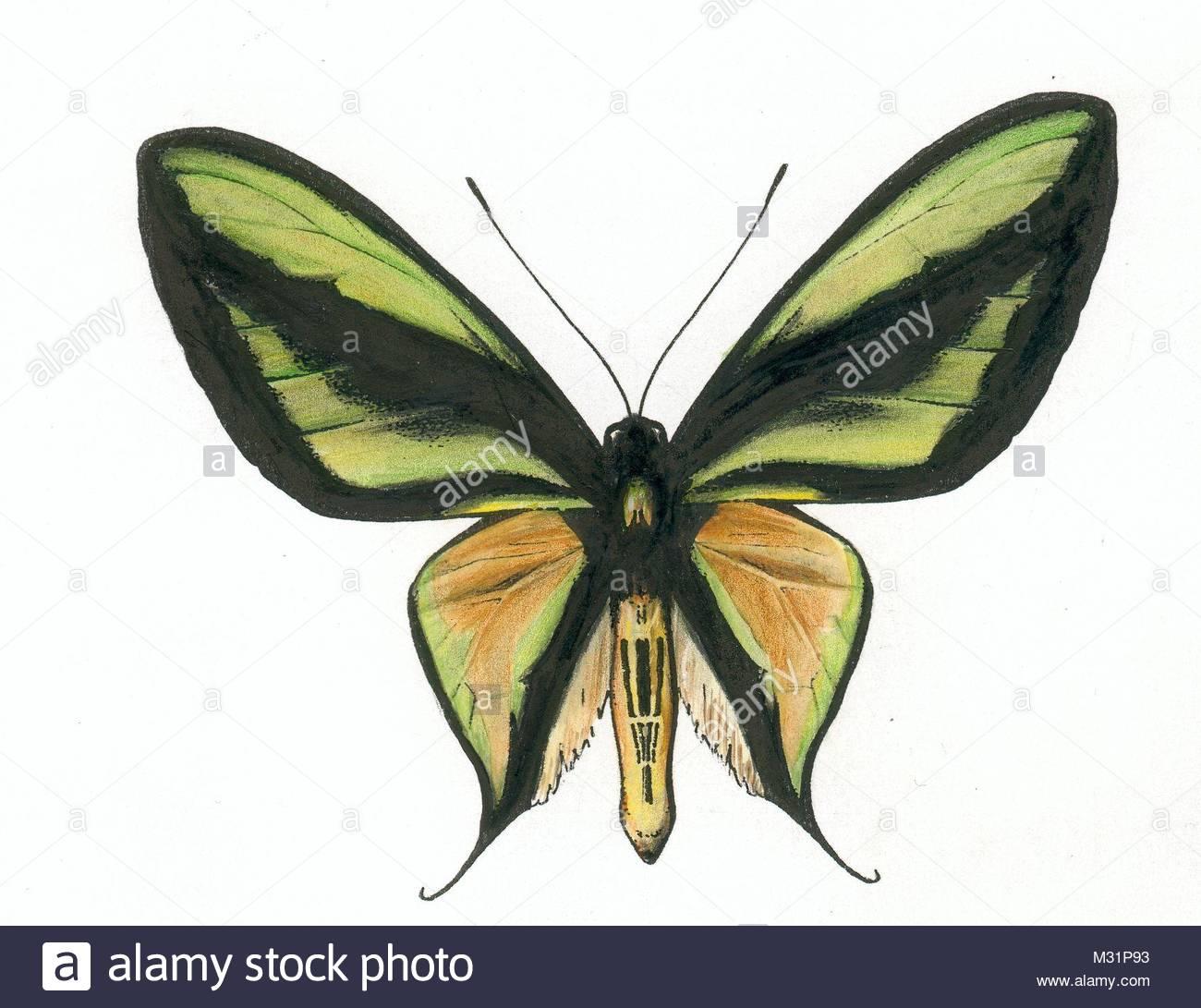 series butterflies series ornithoptera paradisea 5 - Stock Image