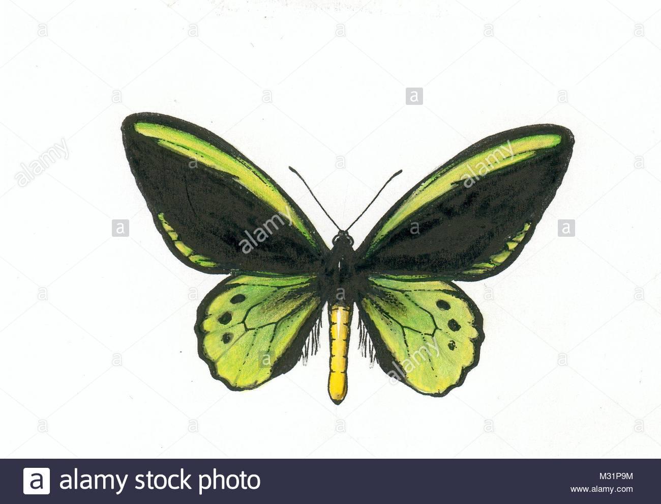 series butterflies series ornithoptera richmondius 1.8 - Stock Image