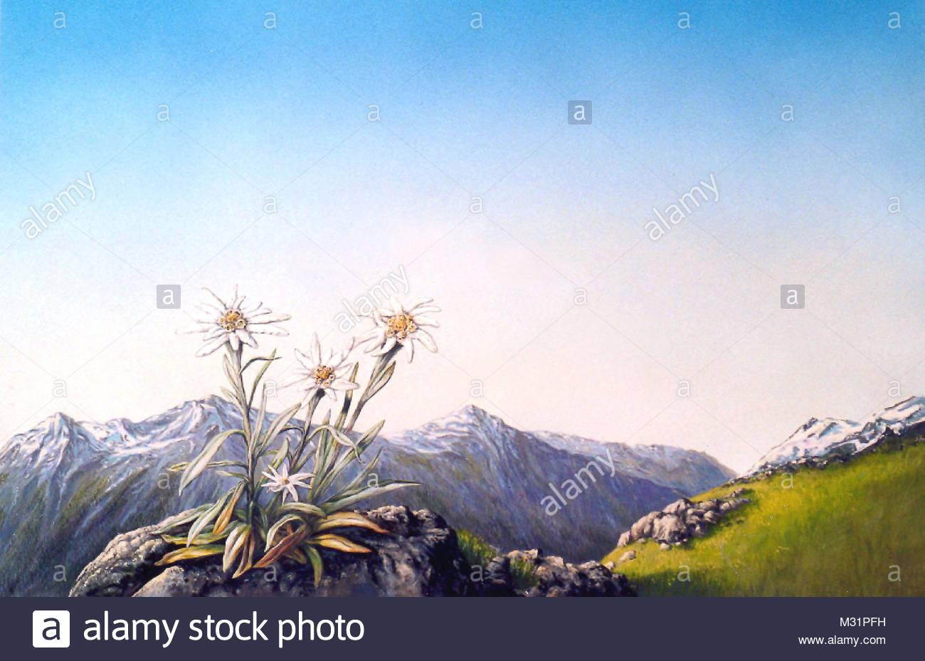 Habitat mountains Edelweiss - Stock Image