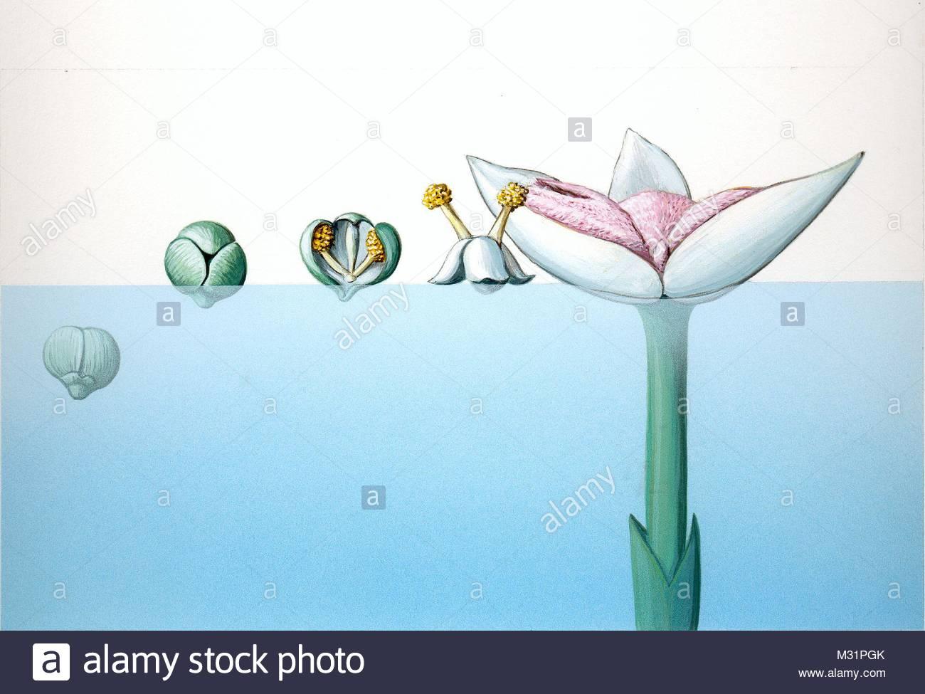 Floating plants water propeller Vallisnera spirali - Stock Image