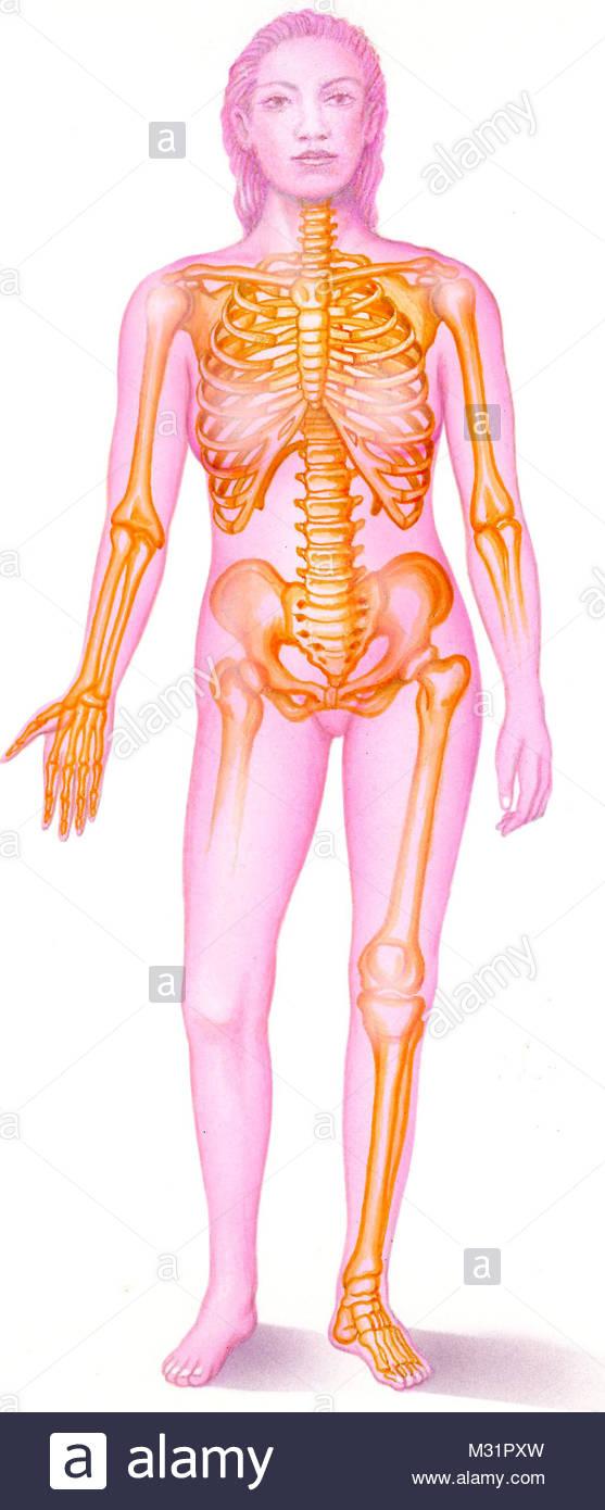 Woman bone - Stock Image