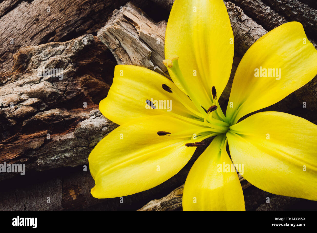 Single Yellow Lily with Arranged Tree Bark - Stock Image