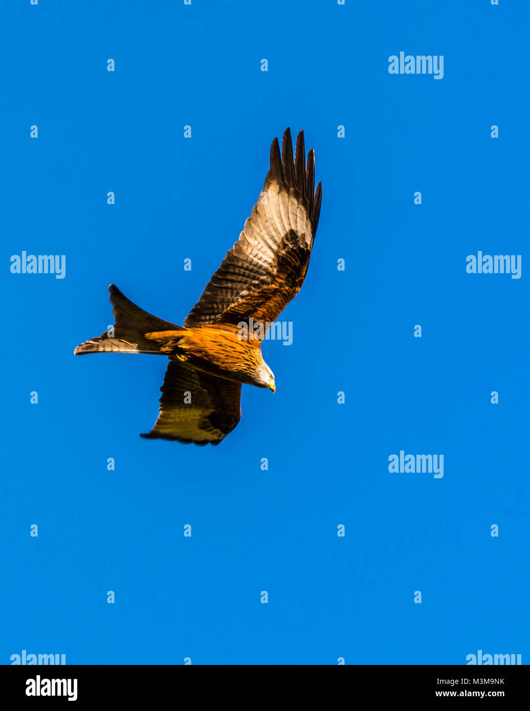 Majestic Red Kite flying over Hughenden, Buckinghamshire, UK - Stock Image