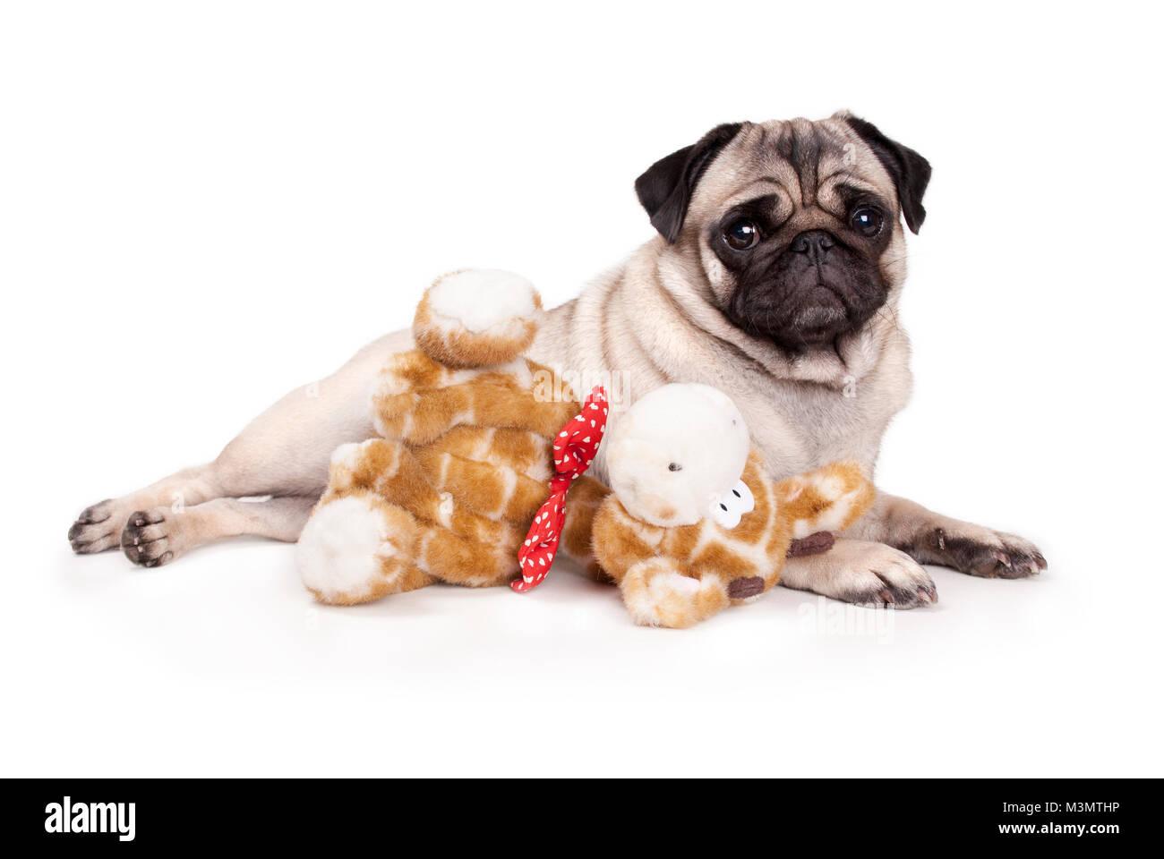 sweet pug puppy dog lying down like a model, with stuffed animal giraffe, on white background - Stock Image