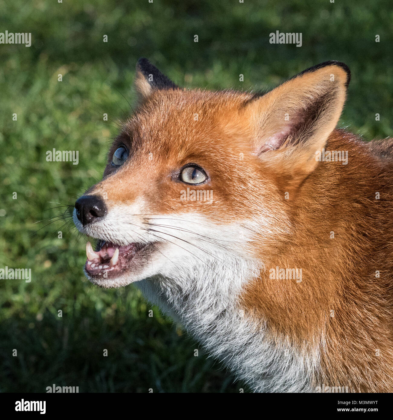 Fox (Vulpes vulpes) Close Up - Stock Image