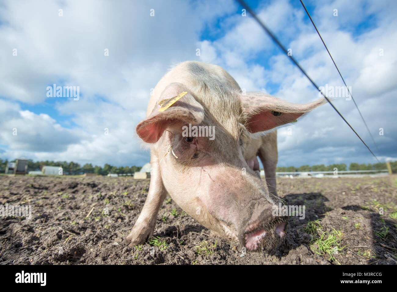 Happy pig on an organic farm in the UK Stock Photo