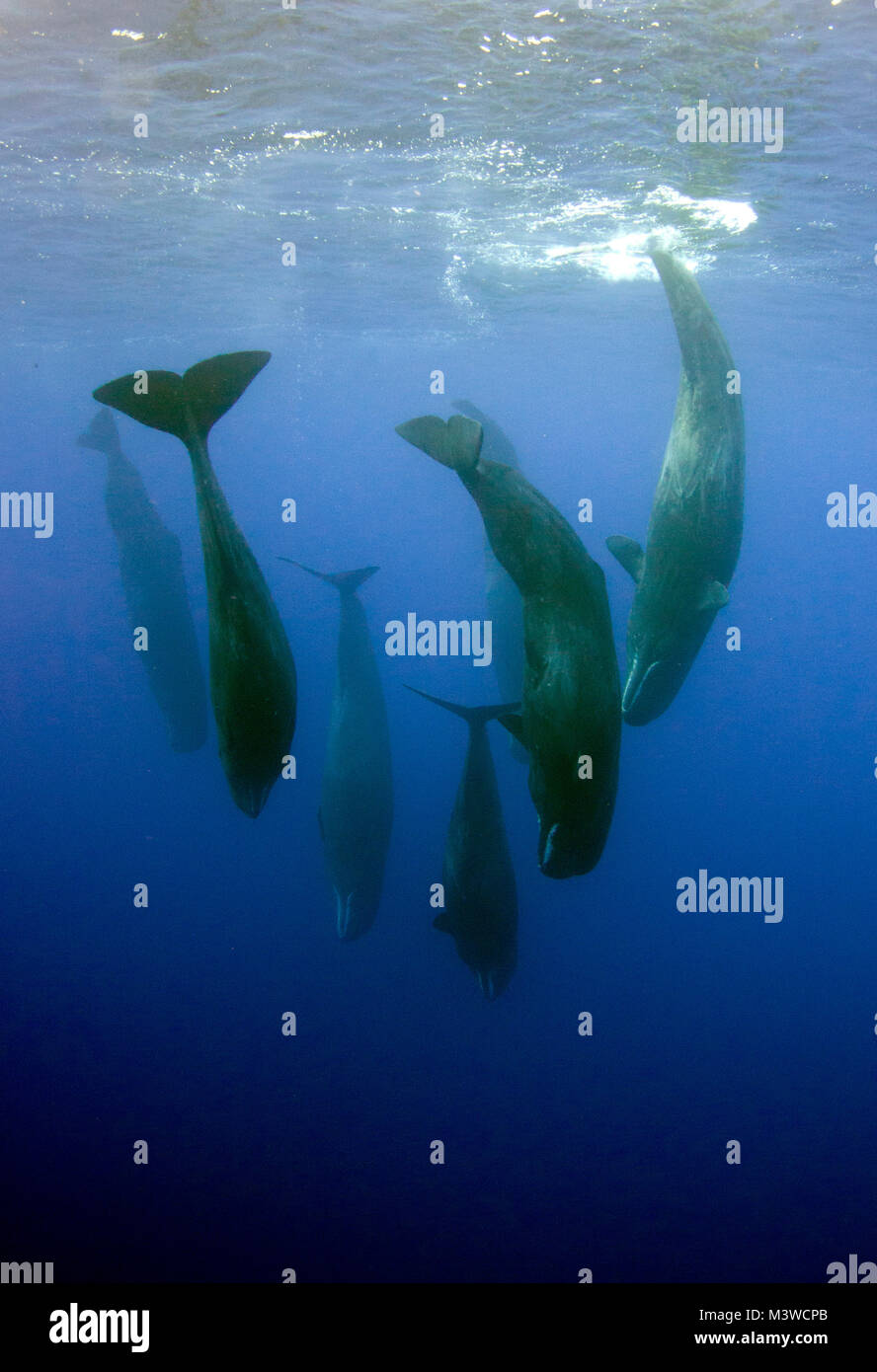 Sperm whale preditors