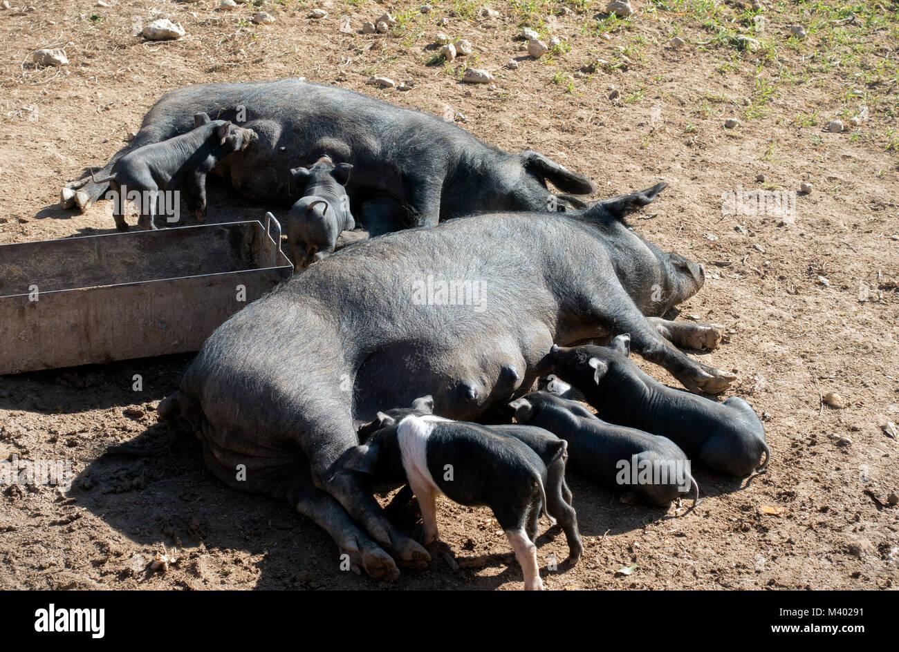 Black pigs farm.Mallorca Island.spain - Stock Image