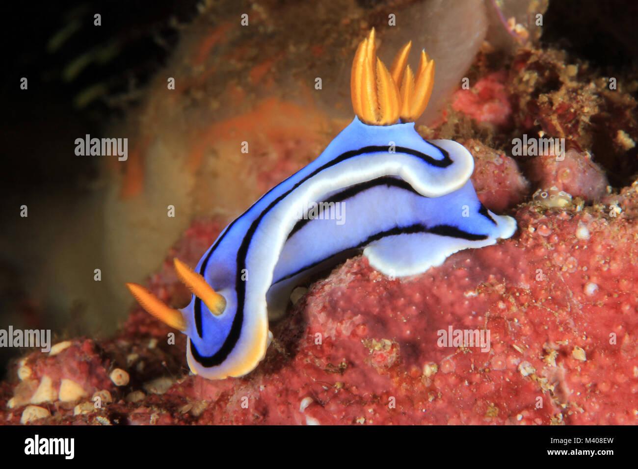 Chromodoris Sp. Nudibranch. Anilao, Philippines - Stock Image