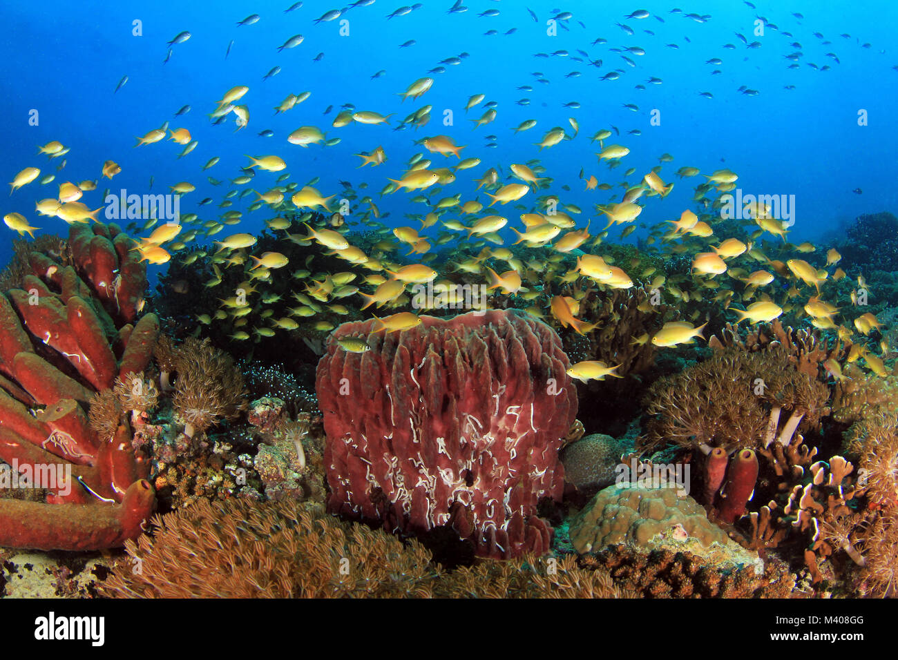 Colorful Coral Reef with Schools of Fish against Blue Water. Pescador Island, Moalboal, Philippines - Stock Image