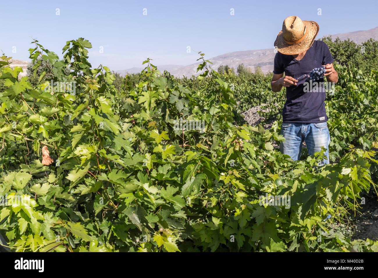 Unidentified man cuts bunch of grapes in vineyard.Uzumlu,Erzincan,Turkey.07 September 2014 - Stock Image