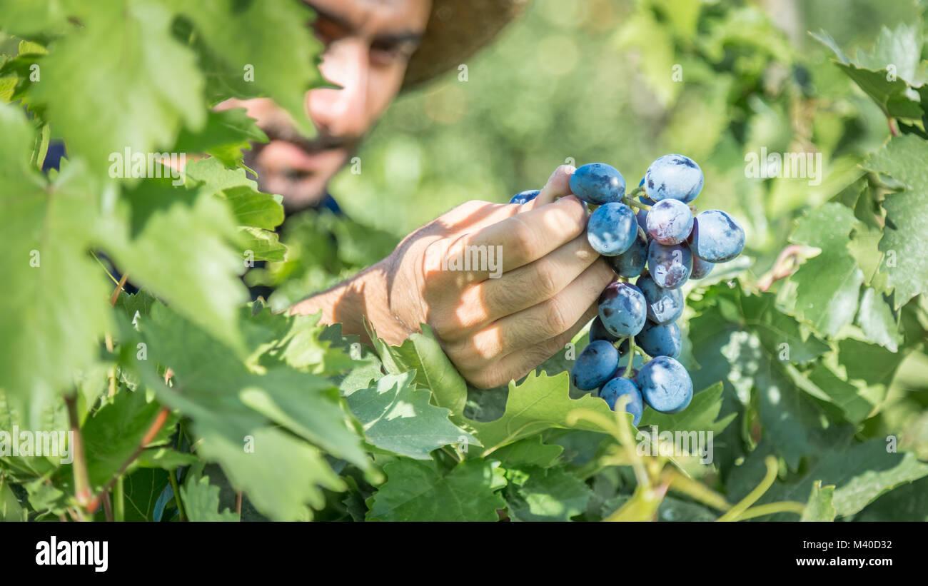 Unidentified man holds Fresh Bunch of Grapes In The Vineyard,Uzumlu,Erzincan,Turkey.07 September 2014 - Stock Image
