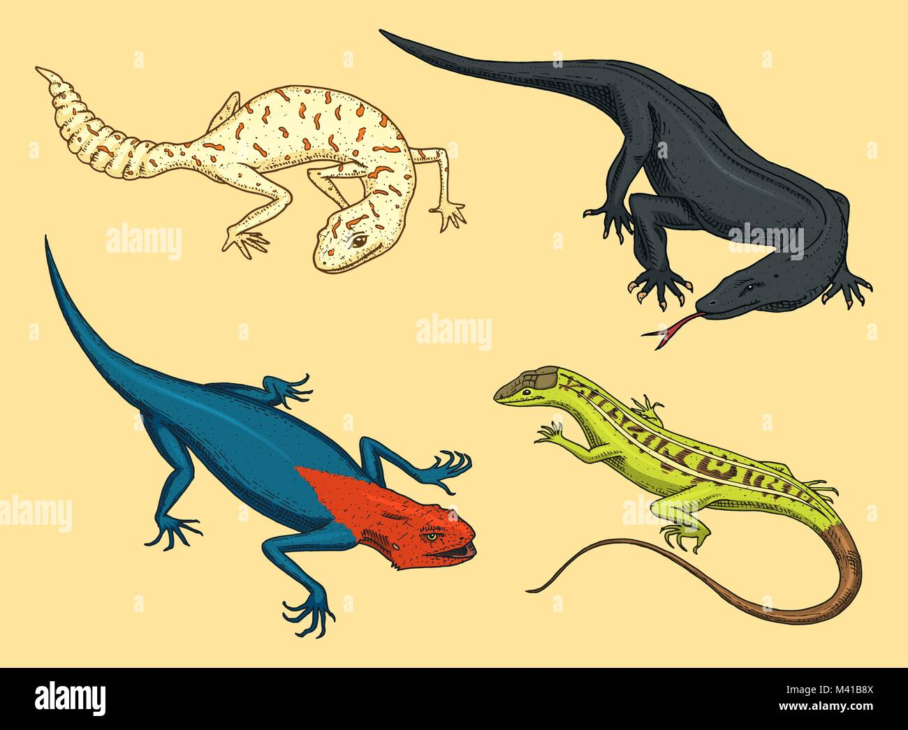 Komodo dragon monitor, American Sand lizard, exotic reptiles or ...