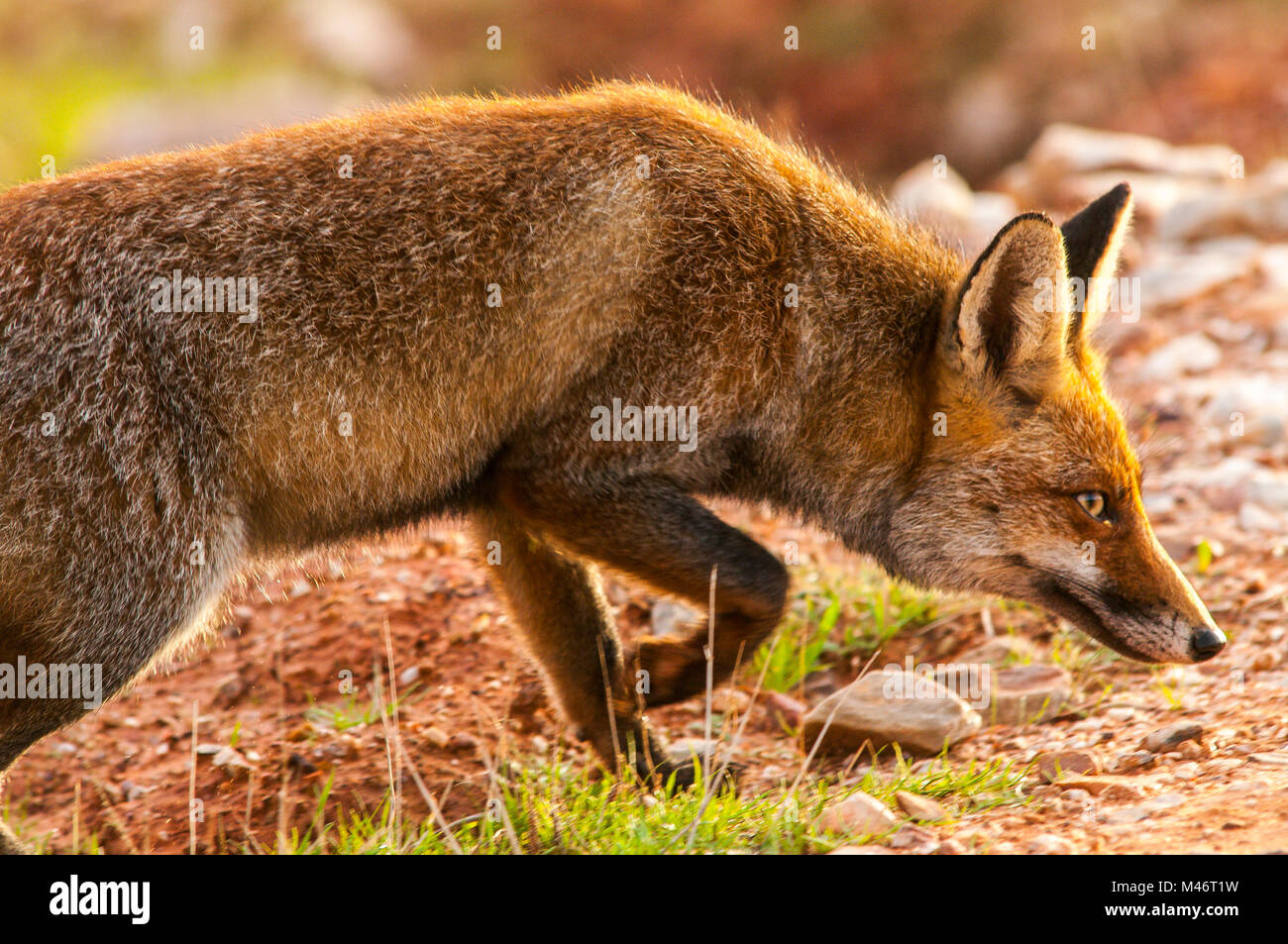 Fox (vulpes vulpes) adult, spanish countryside, southern - Stock Image