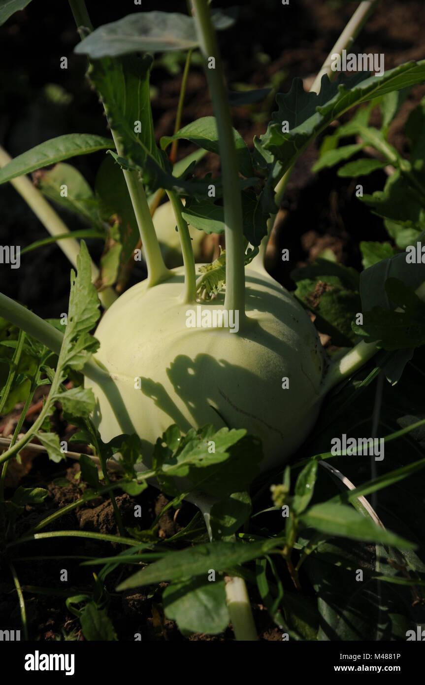 Brassica oleracea var. gongylodes, German turnip - Stock Image
