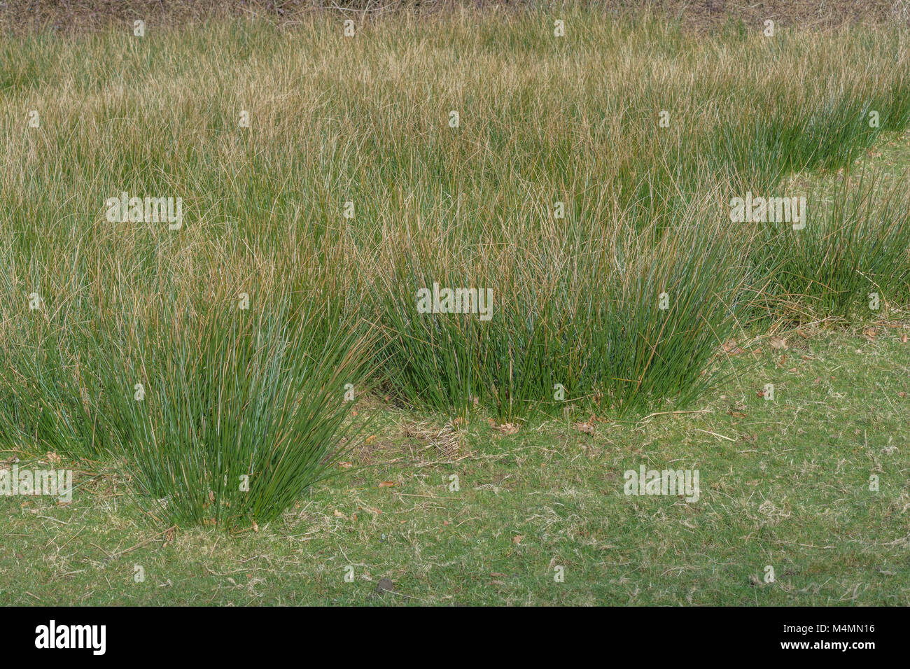 Mass of Juncus Rush (Juncus effusus) in wet field. Once known as the Soft Rush, or Candle Rush. - Stock Image