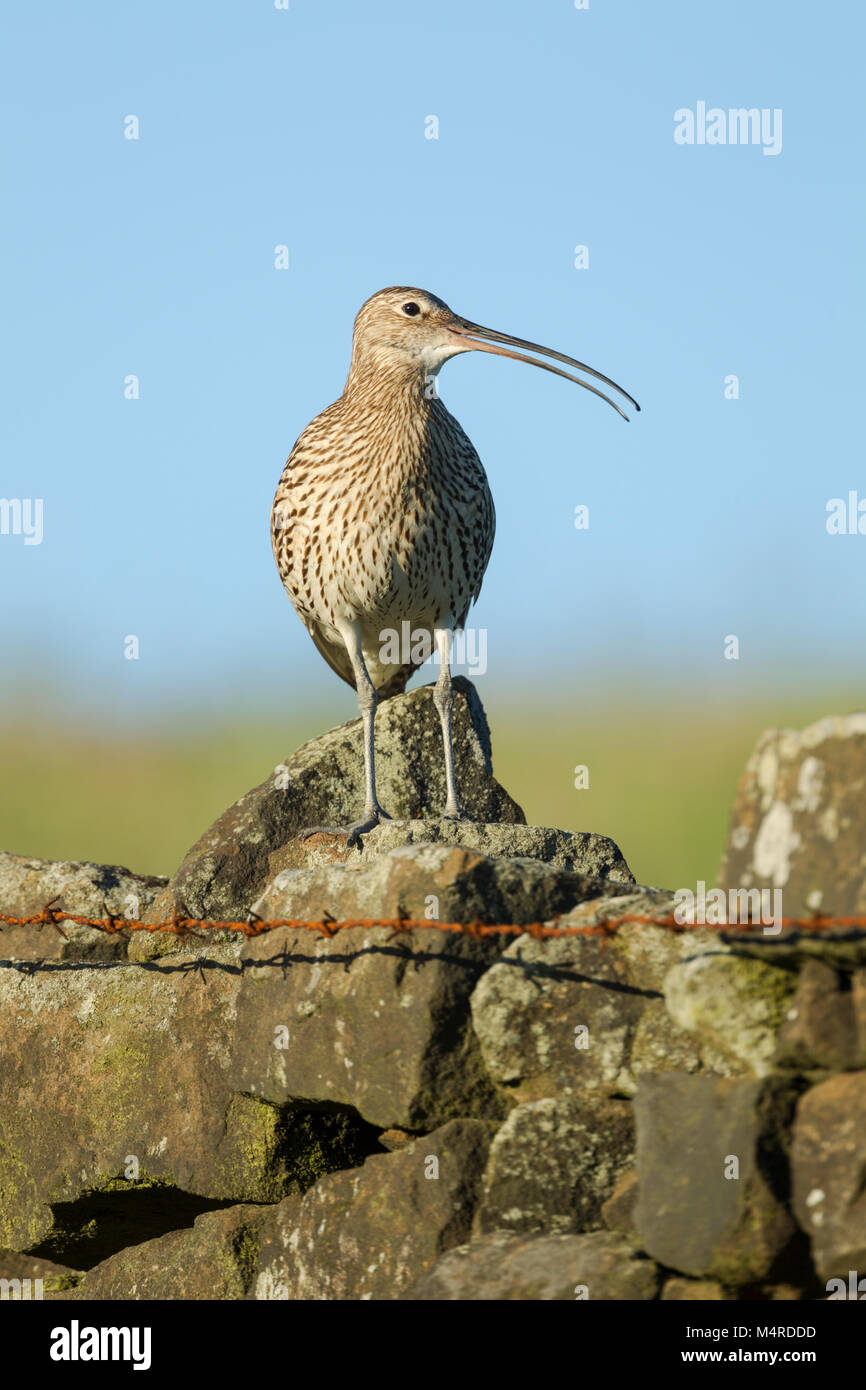 Eurasian Curlew, Latin name Numenius arquata, standing on a stone wall at a field edge with head turned showing - Stock Image