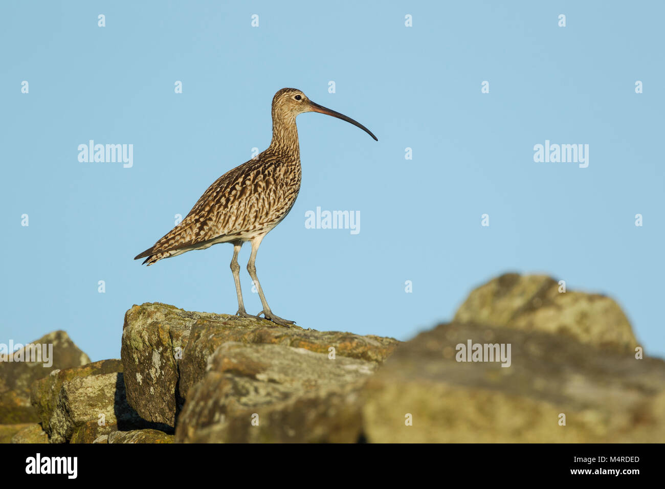 Eurasian Curlew, Latin name Numenius arquata, standing on a stone wall against blue sky, showing curve of bill and - Stock Image