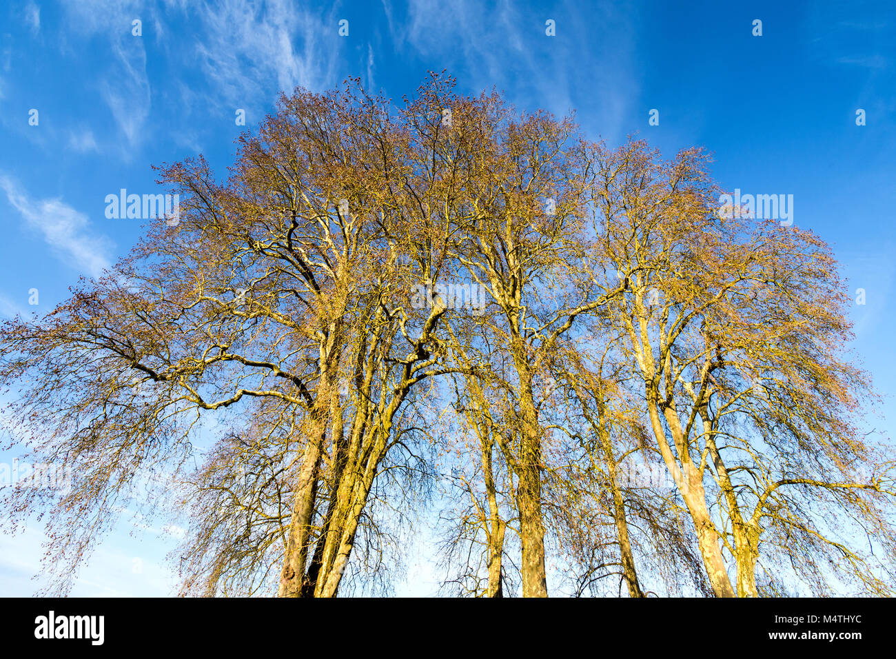 Group of tall Plane Platanus trees in Winter - France. - Stock Image