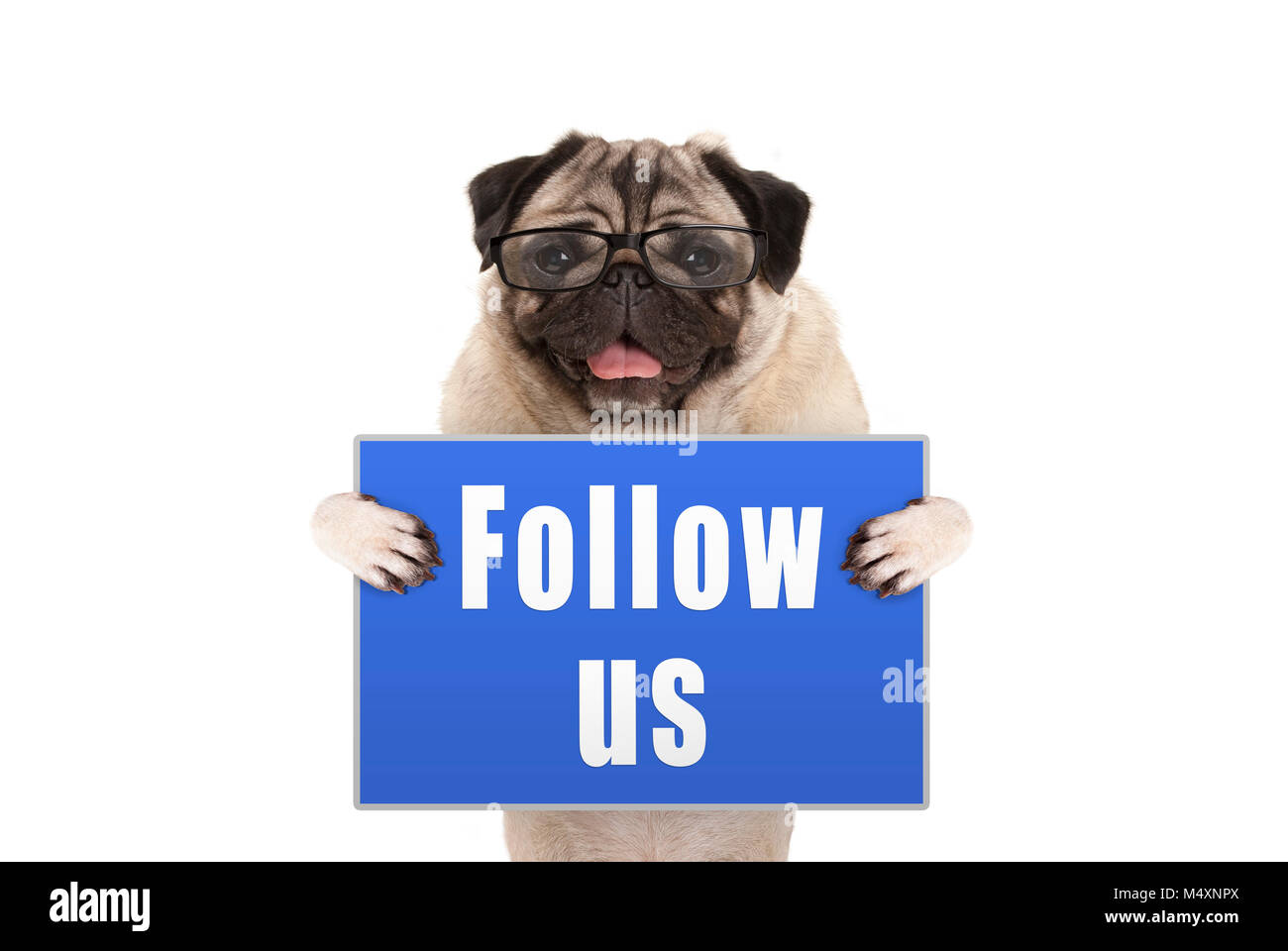 pug dog with glasses holding up blue sign with text follow us, isolated on white background - Stock Image