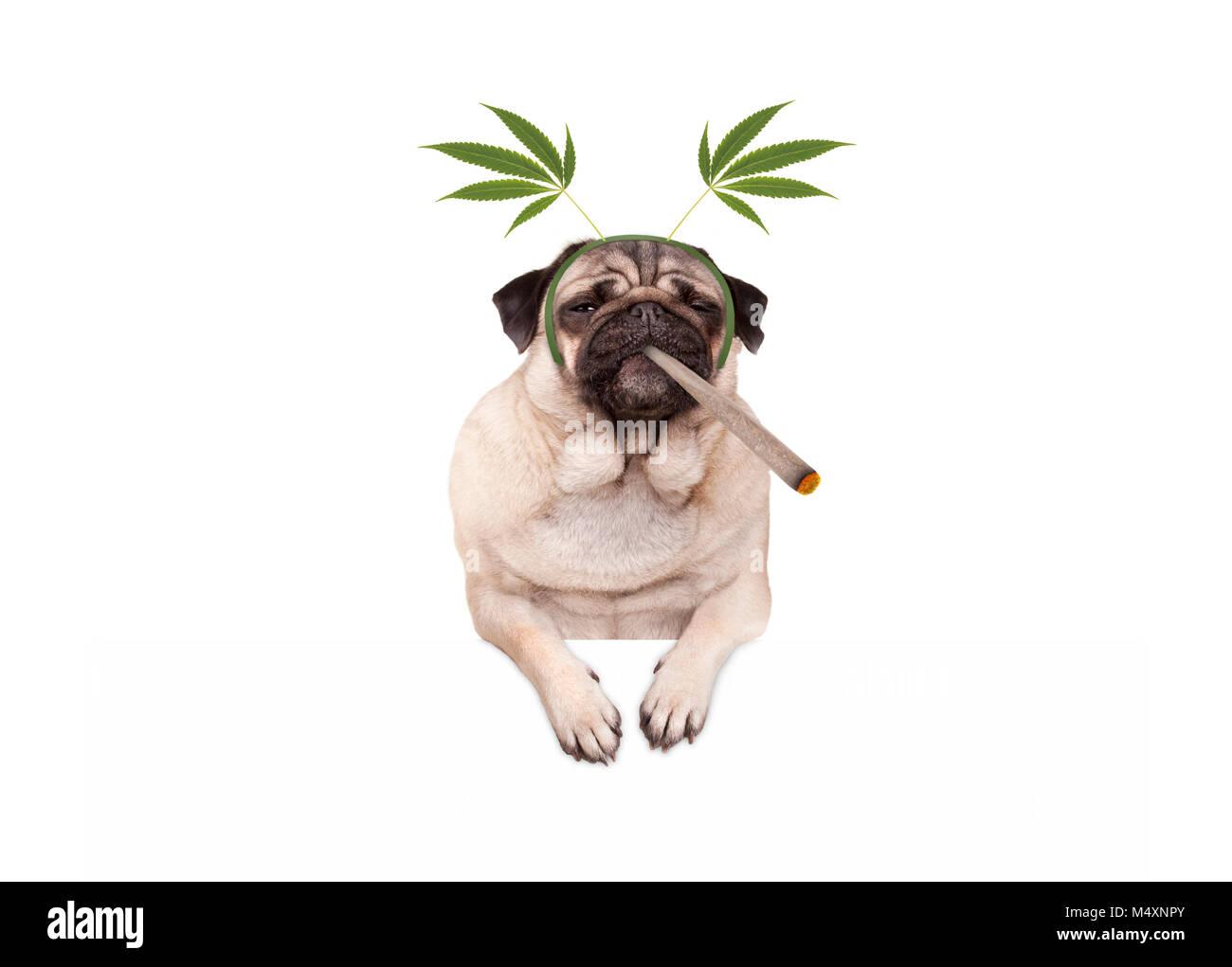 pug puppy dog being high, smoking marijuana weed joint, wearing hemp leaves diadem, isolated on white banner - Stock Image