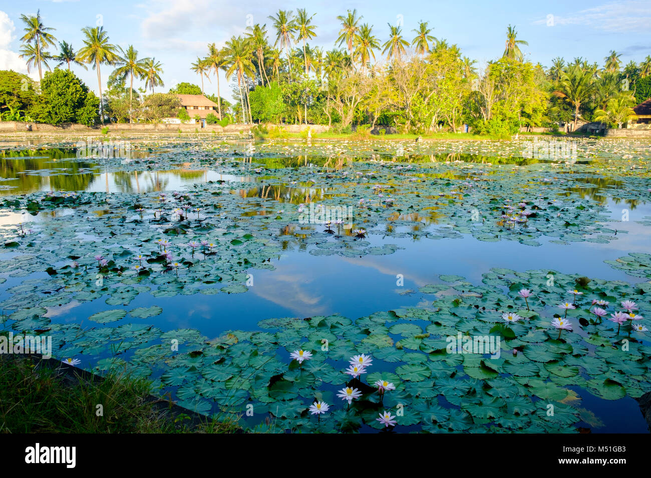Water lillies on the incorrectly named 'Lotus Pond' after sunrise, Candidasa,, Bali, Indonesia. - Stock Image