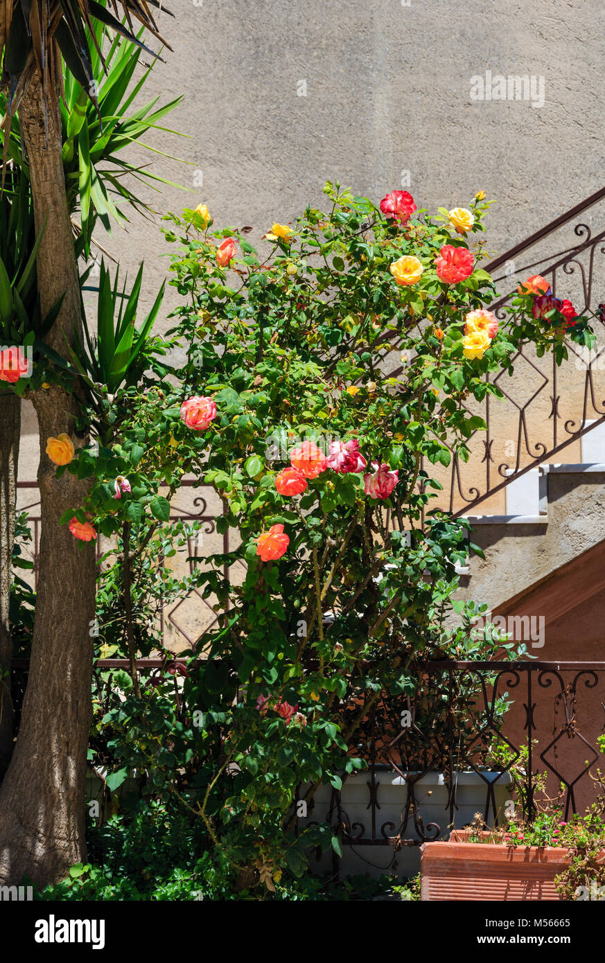Rose bush near staircase. - Stock Image