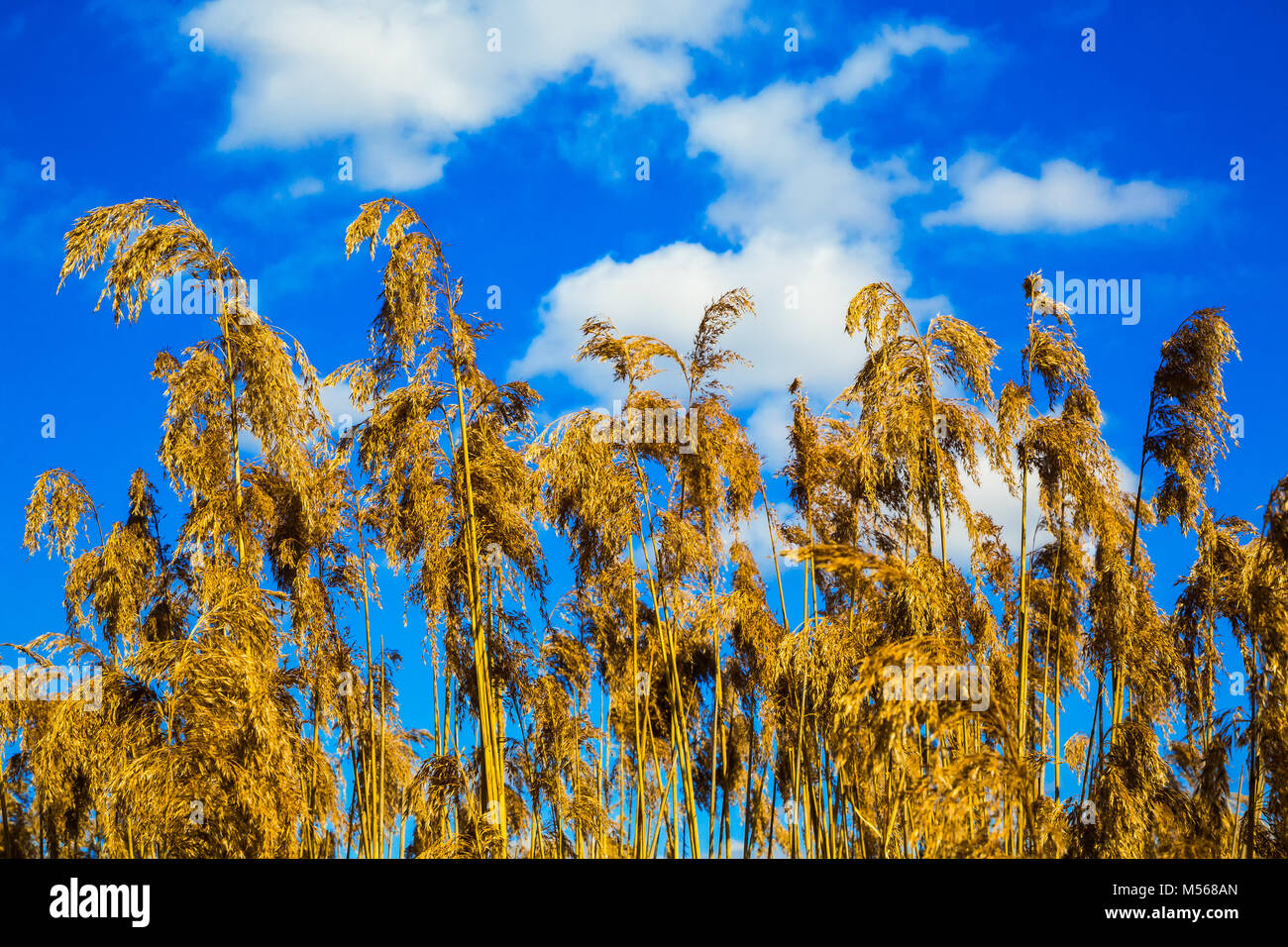 dry reed against the sky - Stock Image