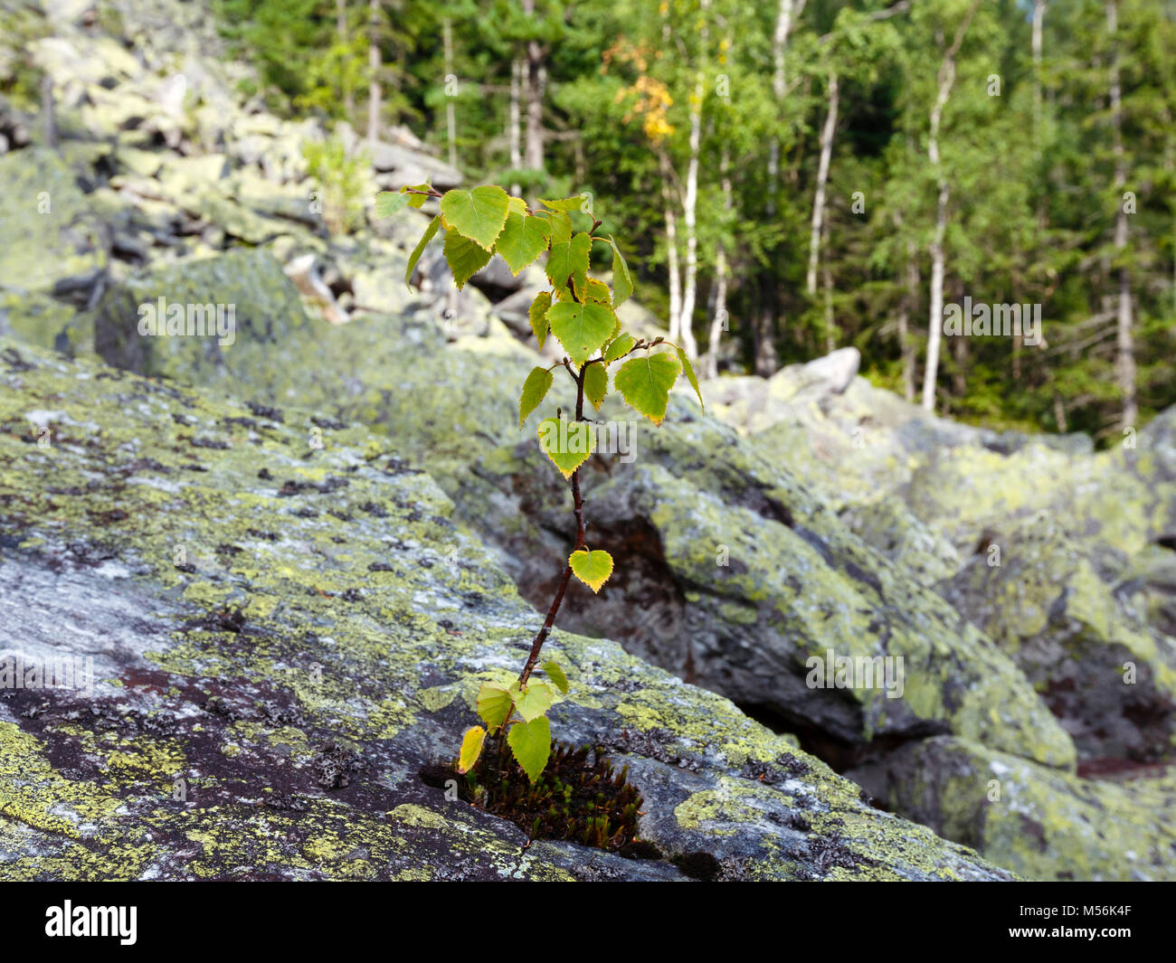 Small birch tree grows up on stone - Stock Image