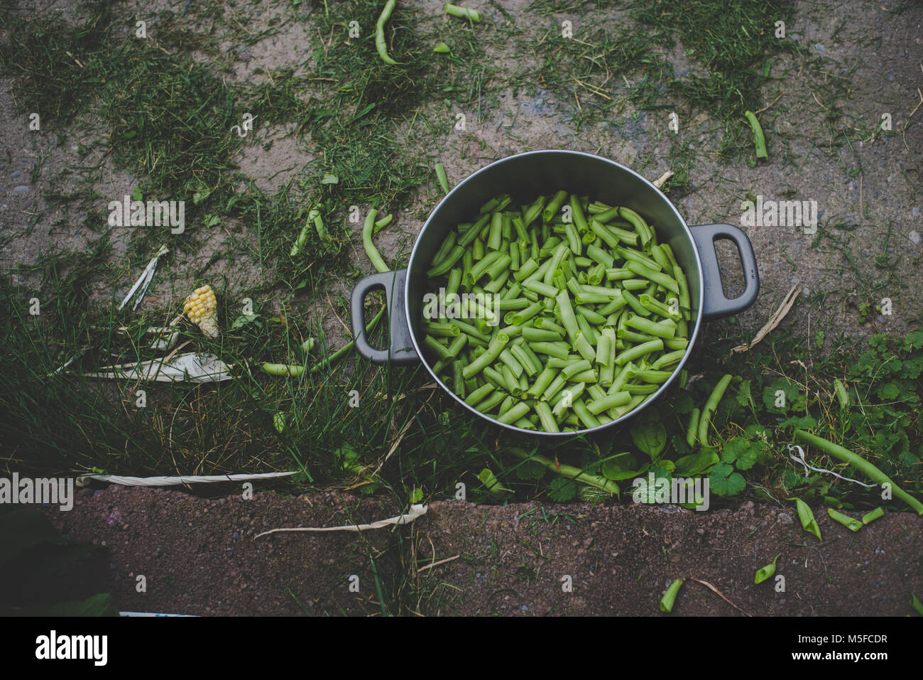Freshly snapped green beans from a garden sit in a pot outside. - Stock Image