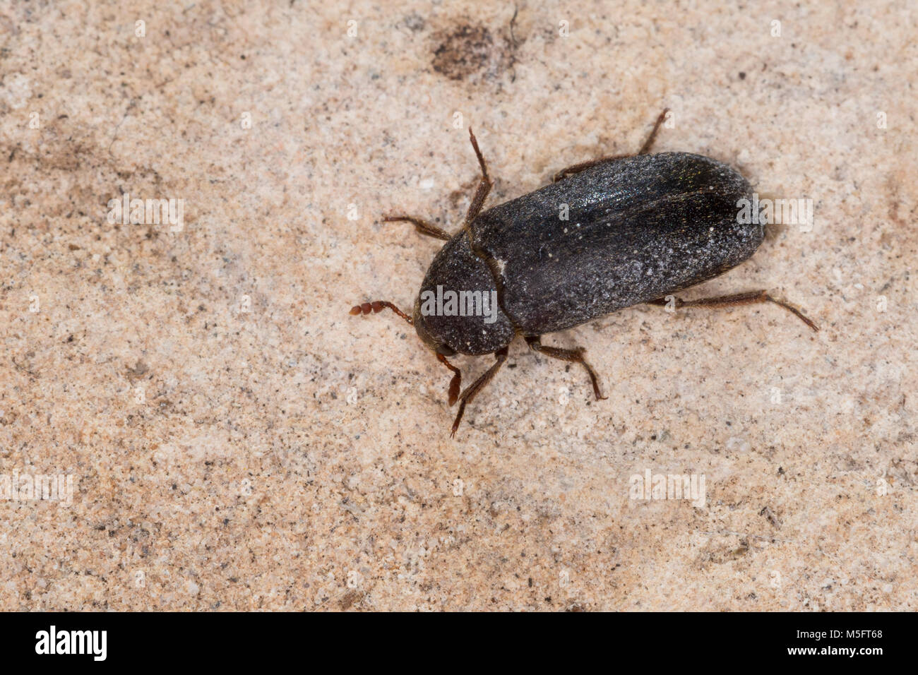 Coleoptera Dermestidae Stock Photos Amp Coleoptera