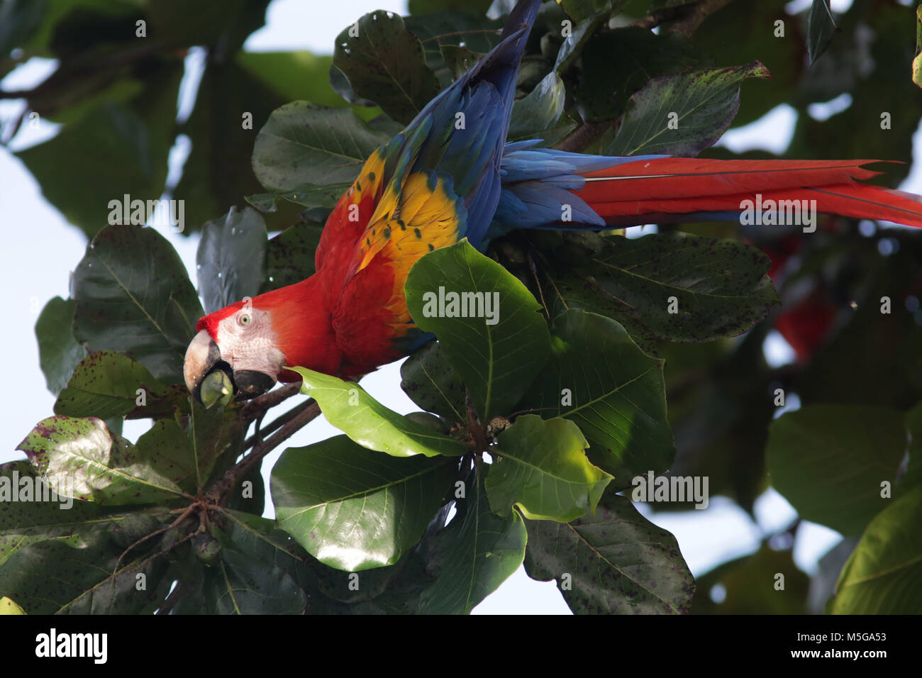 Scarlet Macaws Corcovado National Park Costa Rica - Stock Image