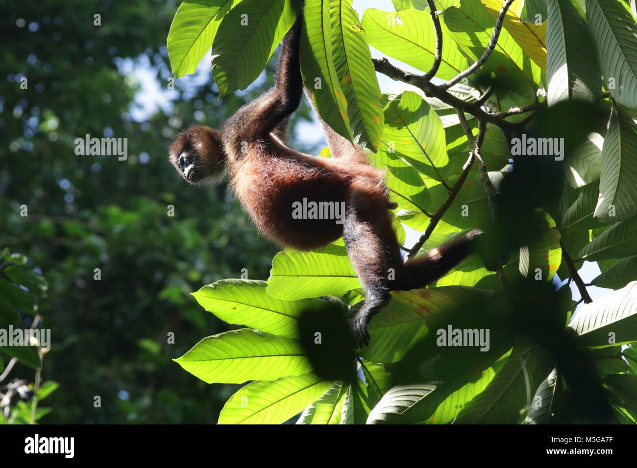 Howler Monkey - Stock Image