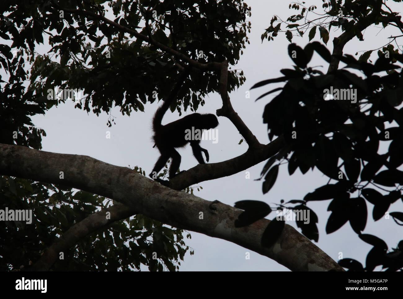 Spider Monkey (Ateles geoffroyi). Corcovado National Park, Osa Peninsula, Costa Rica. - Stock Image