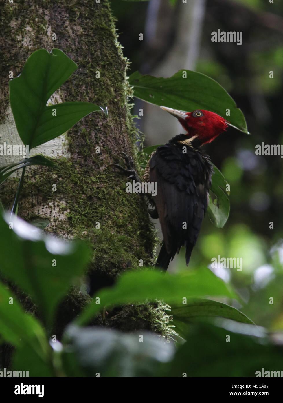 pale-billed woodpecker Costa Rica Corcovado National Park Osa Peninsula - Stock Image