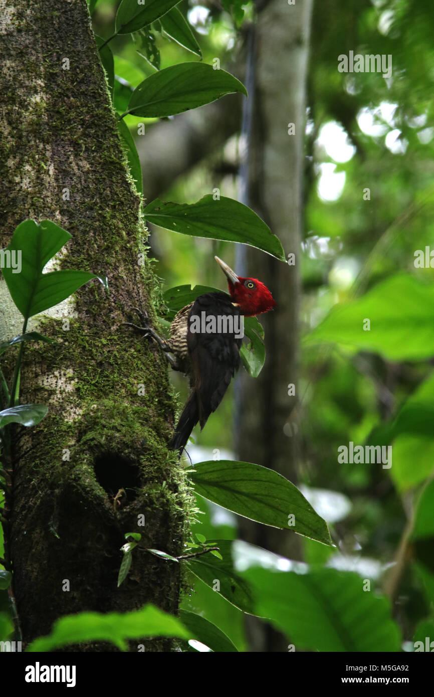 pale-billed woodpecker Costa Rica Corcovado National Park Osa Peninsula Stock Photo