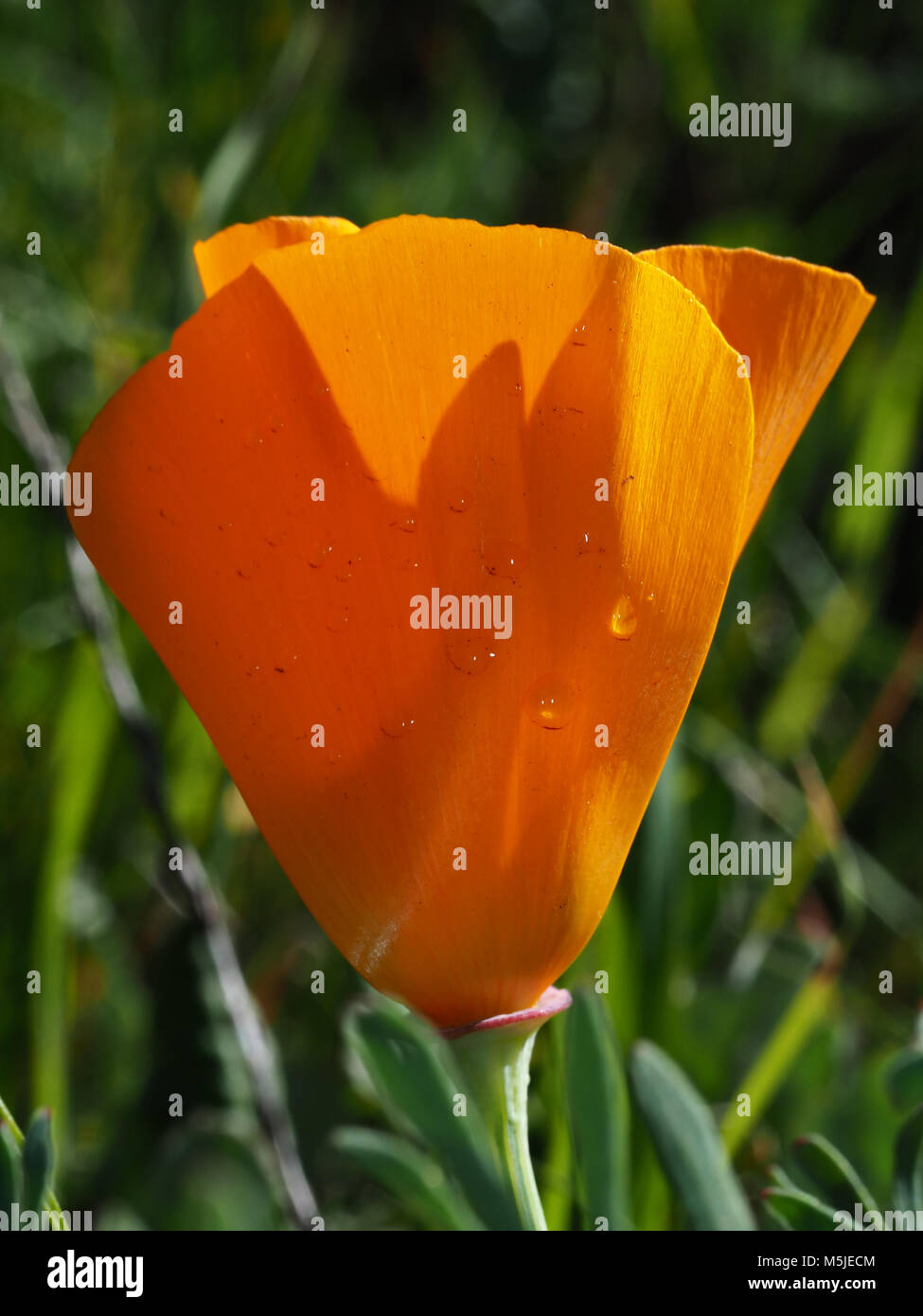 California Poppy Eschscholzia Californica Flower State Flower Of