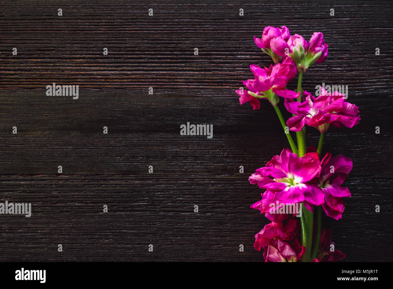 Pink Freesia on Dark Table with Space for Copy - Stock Image